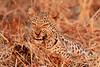 Leopard_Kaingo_Zambia0030