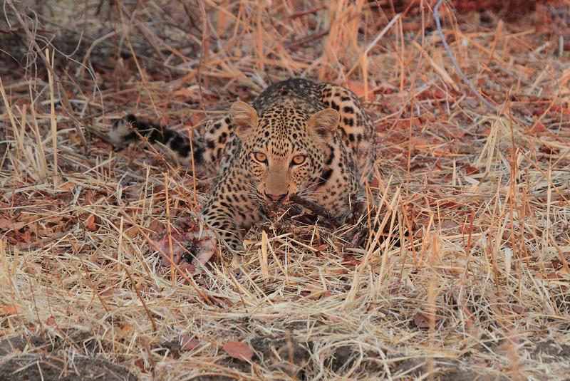 Leopard_Kaingo_Zambia0004