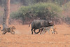Lion_Hunting_Buffalo_Kaingo_Zambia0006