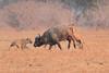 Lion_Hunting_Buffalo_Kaingo_Zambia0024