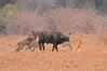 Lion_Hunting_Buffalo_Kaingo_Zambia0019