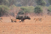 Lion_Hunting_Buffalo_Kaingo_Zambia0011