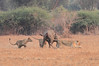 Lion_Hunting_Buffalo_Kaingo_Zambia0007