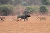Lion_Hunting_Buffalo_Kaingo_Zambia0010