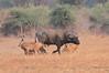 Lion_Hunting_Buffalo_Kaingo_Zambia0012
