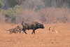 Lion_Hunting_Buffalo_Kaingo_Zambia0016