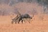 Lion_Hunting_Buffalo_Kaingo_Zambia0020