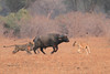 Lion_Hunting_Buffalo_Kaingo_Zambia0017