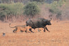 Lion_Hunting_Buffalo_Kaingo_Zambia0013