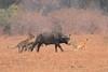 Lion_Hunting_Buffalo_Kaingo_Zambia0018