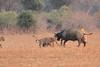 Lion_Hunting_Buffalo_Kaingo_Zambia0015