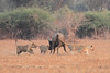 Lion_Hunting_Buffalo_Kaingo_Zambia0008