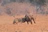 Lion_Hunting_Buffalo_Kaingo_Zambia0023