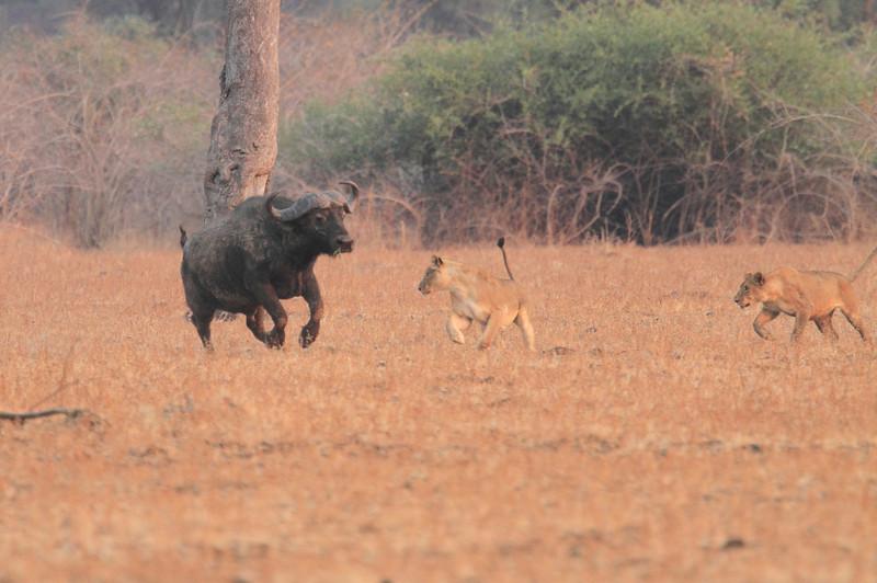 Lion_Hunting_Buffalo_Kaingo_Zambia0004