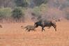 Lion_Hunting_Buffalo_Kaingo_Zambia0014