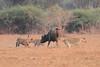 Lion_Hunting_Buffalo_Kaingo_Zambia0009