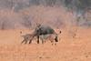 Lion_Hunting_Buffalo_Kaingo_Zambia0021