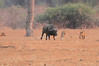 Lion_Hunting_Buffalo_Kaingo_Zambia0005
