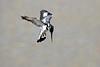 Pied_Kingfisher_Kaingo_Zambia__0173