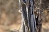 Slender_Mongoose_Kaingo_Zambia__0016