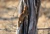 Slender_Mongoose_Kaingo_Zambia__0020