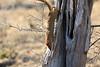 Slender_Mongoose_Kaingo_Zambia__0024