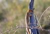 Slender_Mongoose_Kaingo_Zambia__0018