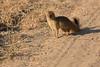 Slender_Mongoose_Kaingo_Zambia__0050