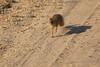 Slender_Mongoose_Kaingo_Zambia__0044