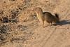 Slender_Mongoose_Kaingo_Zambia__0046
