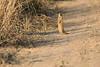 Slender_Mongoose_Kaingo_Zambia__0030