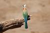 White-Fronted_Bee-Eater_Kaingo_Zambia__0052