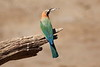 White-Fronted_Bee-Eater_Kaingo_Zambia__0046