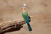 White-Fronted_Bee-Eater_Kaingo_Zambia__0042