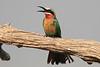 White_Fronted_Beeater_Kaingo_Zambia0001