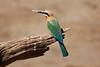 White-Fronted_Bee-Eater_Kaingo_Zambia__0040