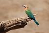 White-Fronted_Bee-Eater_Kaingo_Zambia__0068