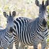 zebra1_big.jpg