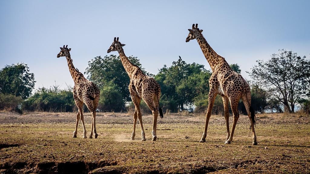 Rhodesian Giraffes