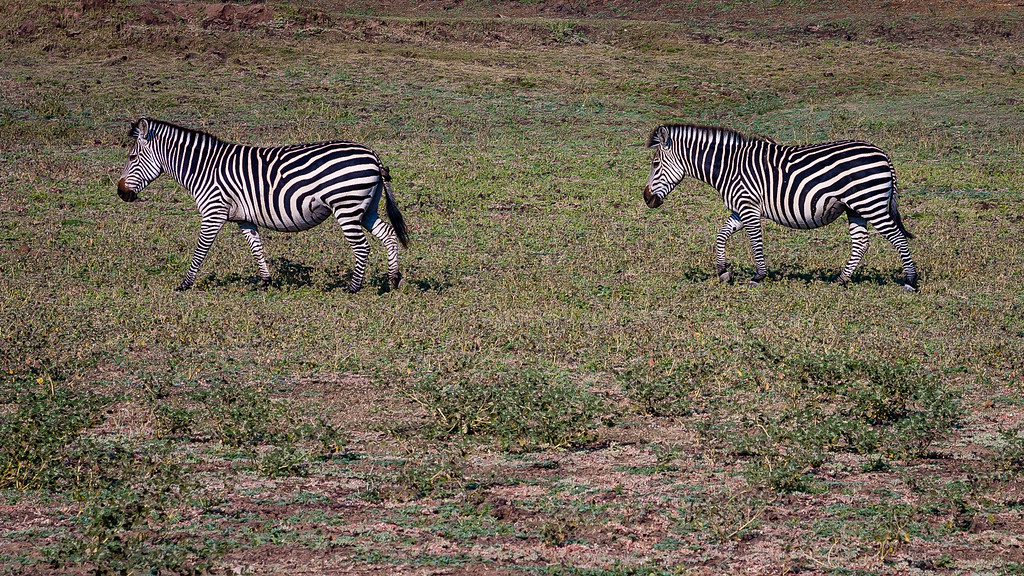 Luangwa Zebras