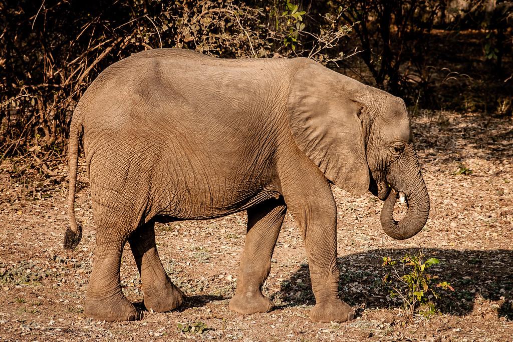 Luangwa Elephant