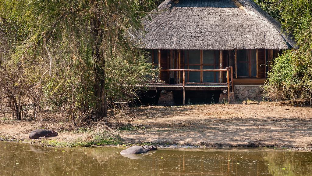 Luangwa Hippos