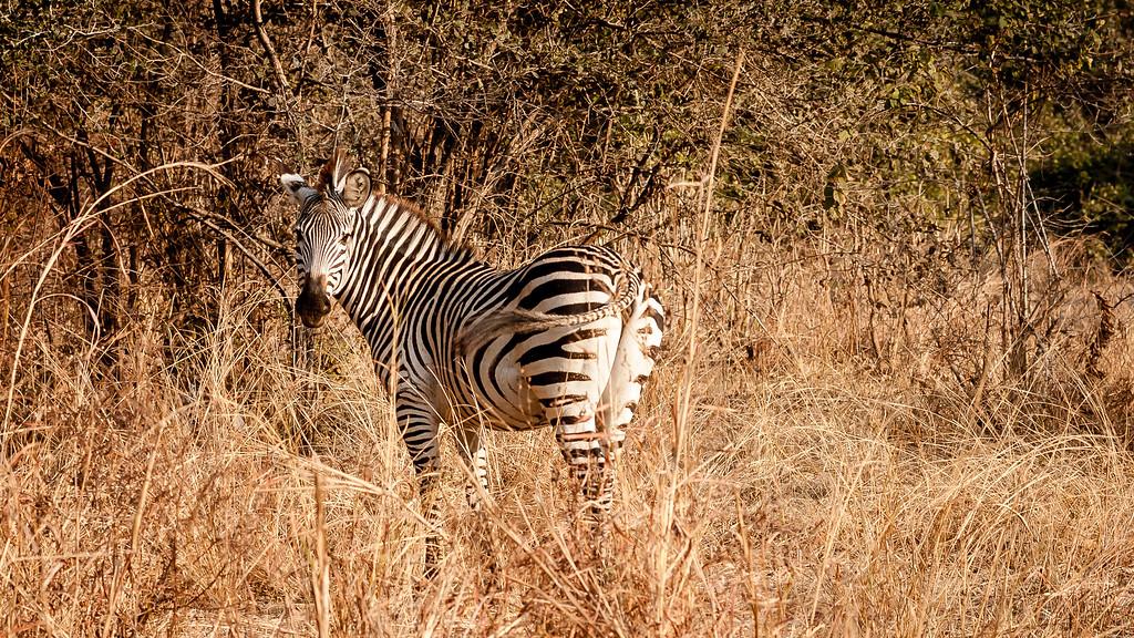 Luangwa Zebra