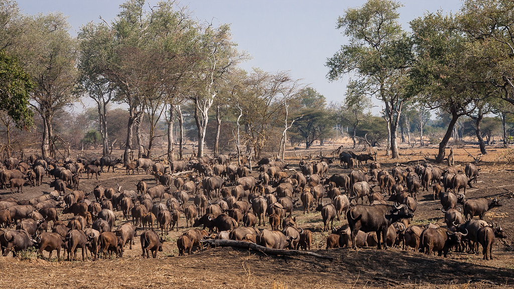 Luangwa Buffalo Herd