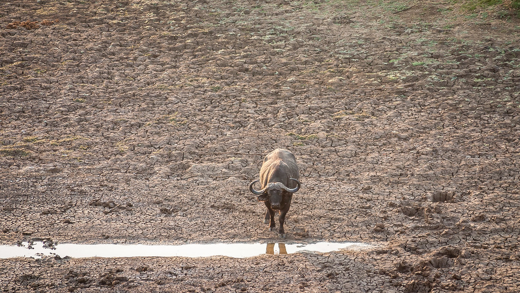 Luangwa Wild Buffalo