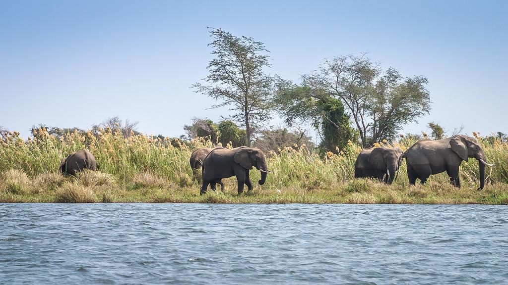 Zambezi River Elephants