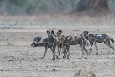 Wild dogs are another predator of the region.  Rare further north, there are significant numbers hunting in the South Luangwa region