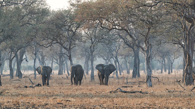 But it is seeing them in the forest which separates South Luangwa from the more famous parks further north