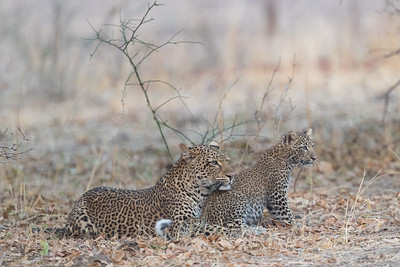 Leopards are quite successful here and often raise young, though as elsewhere the mortality rate for young leopards is quite high