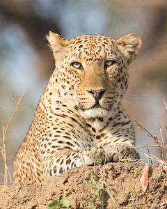 Still if your down at the water level and look up to notice a leopard its quite something to behold even if you are 'safely' in your vehicle
